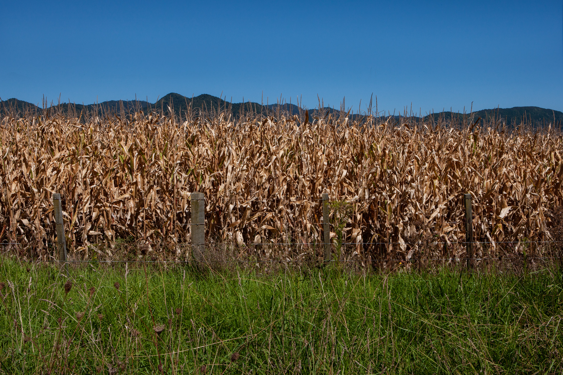 corn_field_web